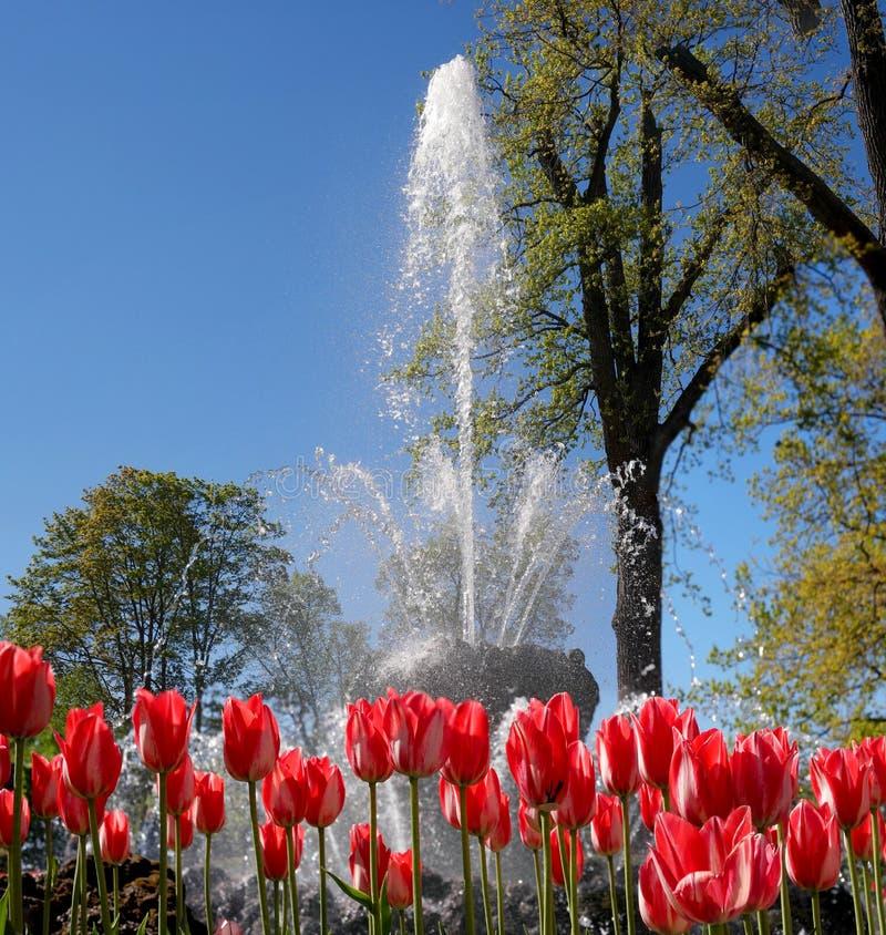 喷泉在中国庭院里 在前景有郁金香 Petergof,俄国 库存图片