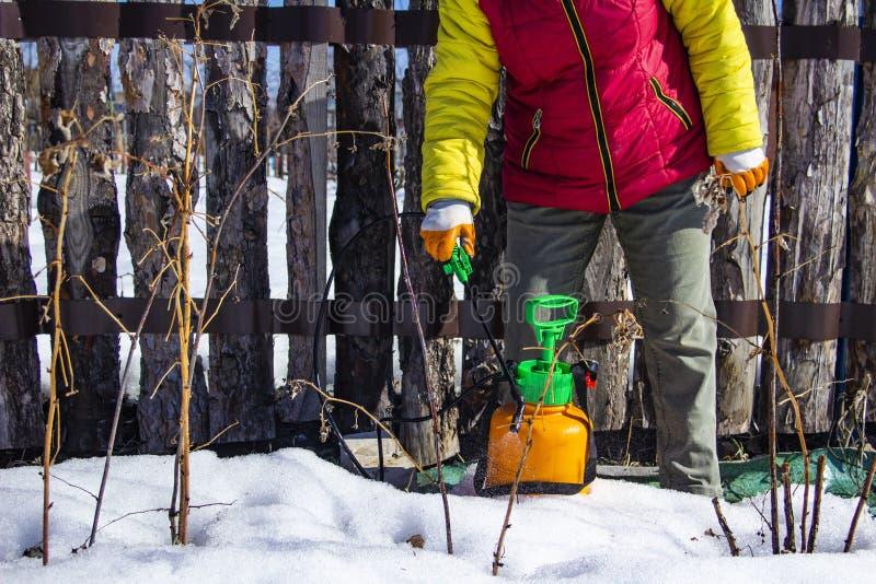 喷洒果树从虫和昆虫的晚冬 图库摄影