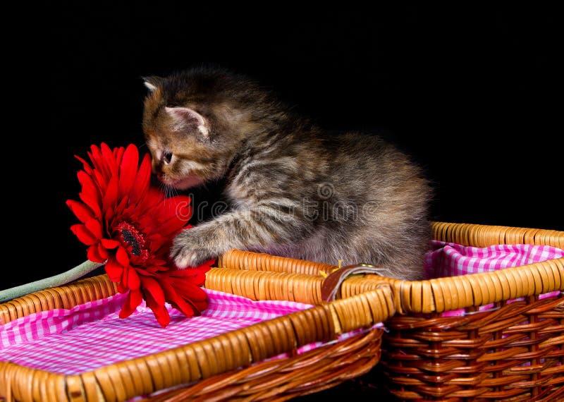 嗅到在一朵红色花的小猫 库存照片