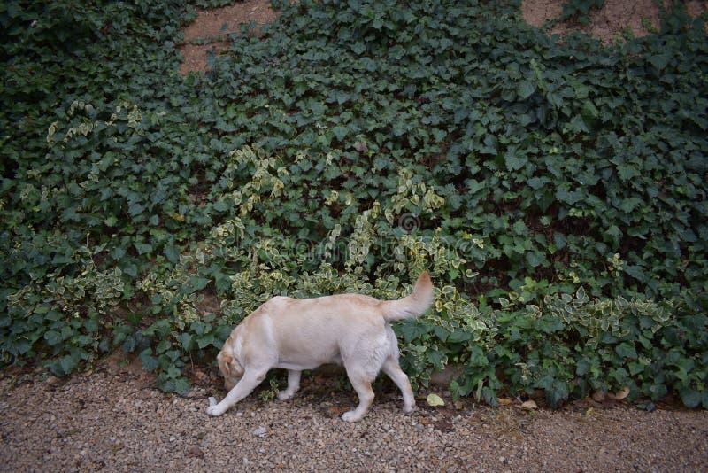 嗅到地面的拉布拉多狗在庭院里 库存图片