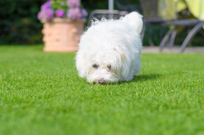 嗅在绿草的可爱,好奇小狗 库存图片