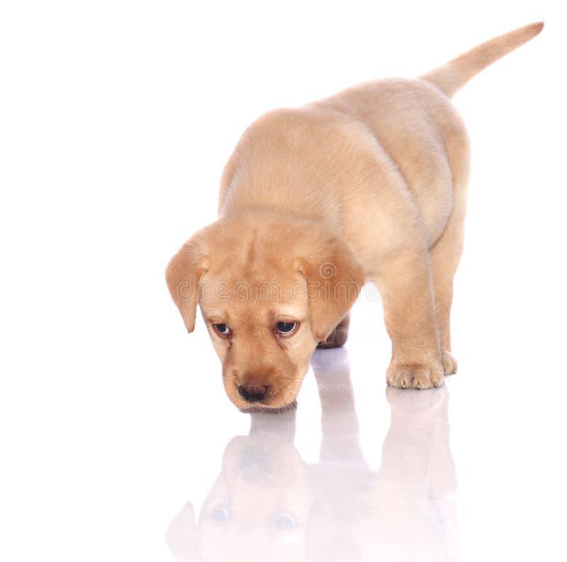 嗅拉布拉多猎犬小狗 库存图片