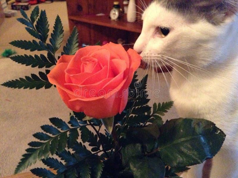 嗅花的家猫 免版税库存图片