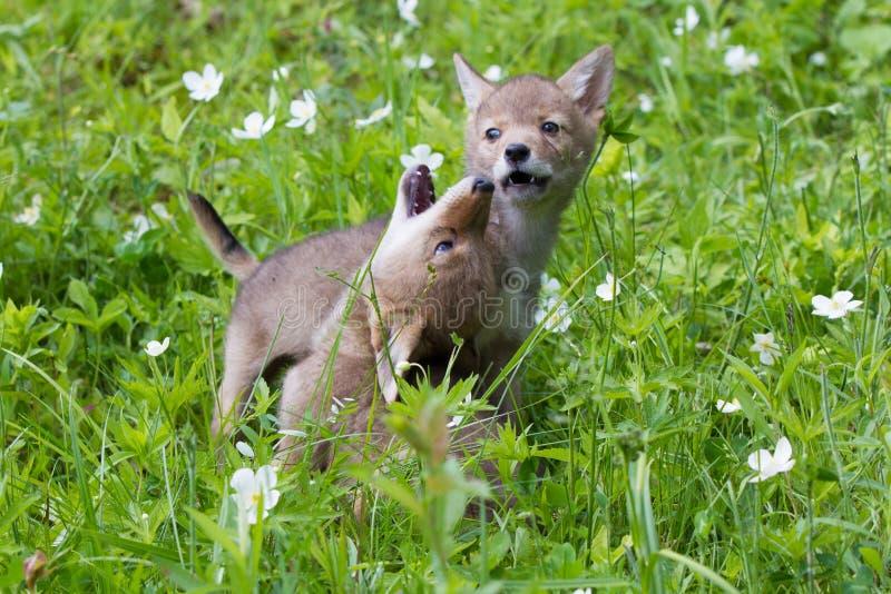 嗥叫土狼的小狗 库存照片