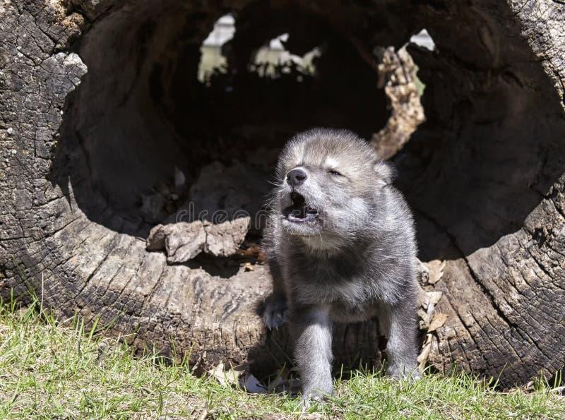 嗥叫幼小的北美灰狼 免版税库存图片