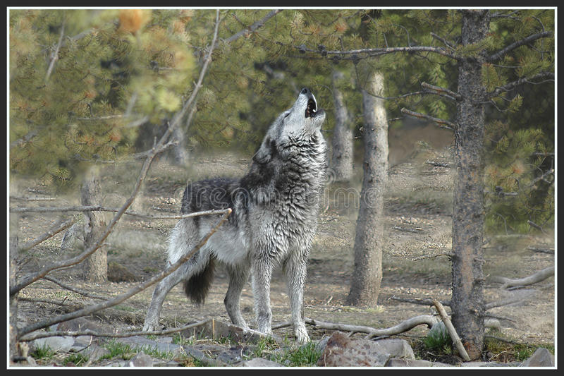 嗥叫灰狼 免版税图库摄影
