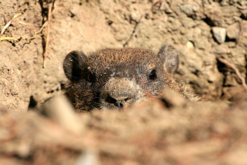 嘘groundhog偷看 免版税库存照片