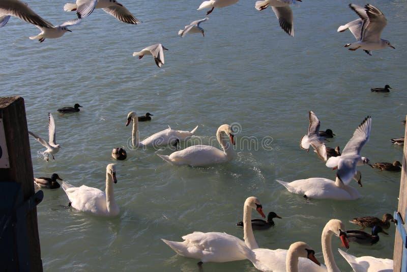 嘿thoes为风anf的海鸥战斗为食物战斗 免版税库存照片