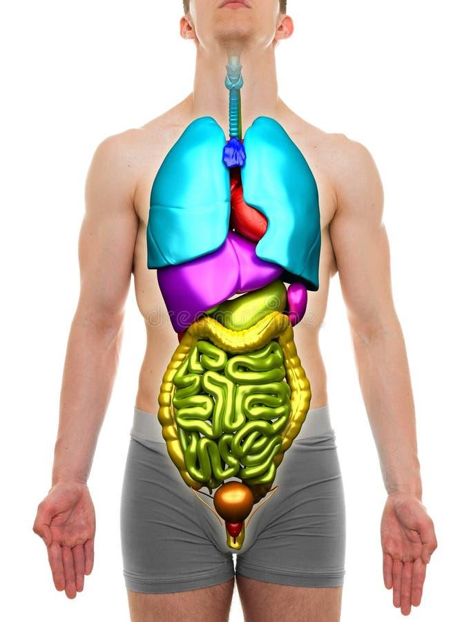 器官男性-在白色隔绝的内脏解剖学 库存照片