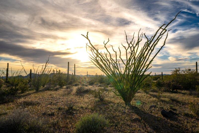 器官管国家历史文物的蜡烛木植物在Sonoran亚利桑那沙漠,在下午日落末期 库存图片