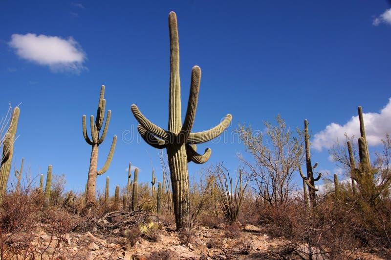 器官管仙人掌国家历史文物,亚利桑那,美国 免版税库存图片