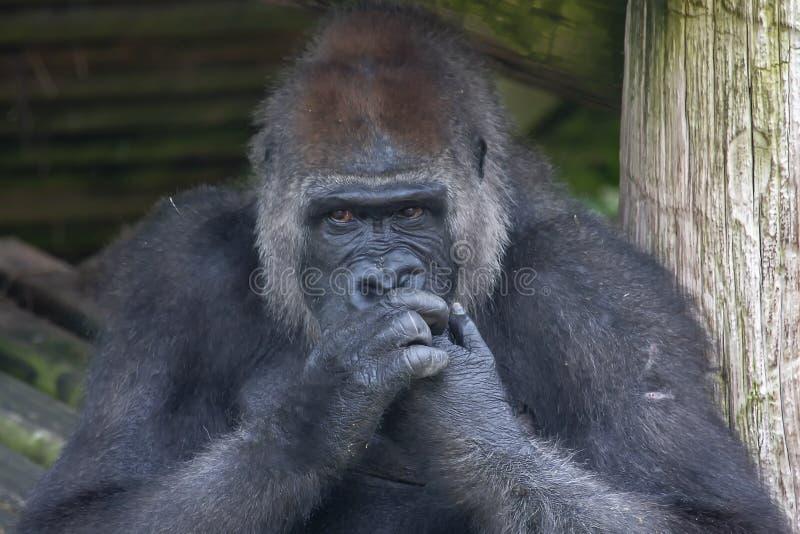 嚼他的钉子的大猩猩 免版税库存图片