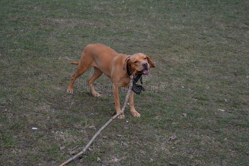 嚼分支4的狗 免版税库存图片
