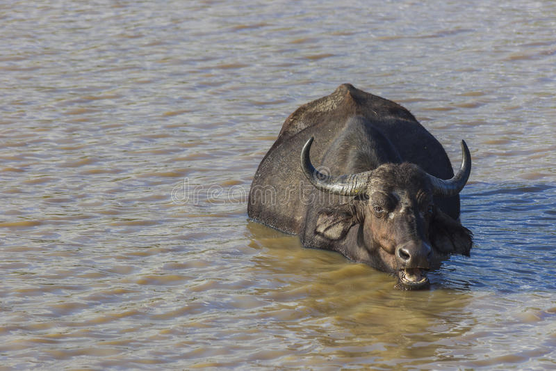 嚼反刍食物的水牛城,当淹没在水中时 免版税图库摄影