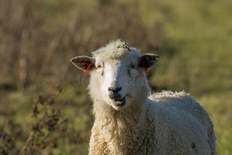 嚼反刍食物的绵羊 免版税图库摄影