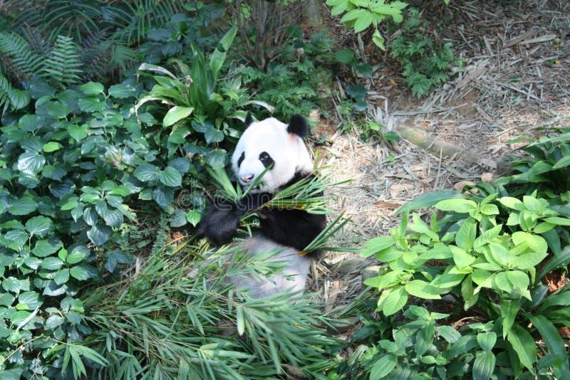 嚼叶子的熊猫 免版税库存照片