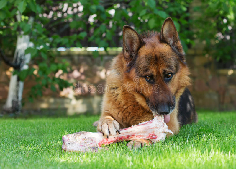 嚼在一根骨头的德国牧羊犬狗在庭院里 免版税库存照片
