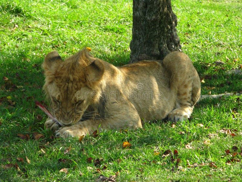 嚼在一根骨头的非洲雌狮崽在树荫下 免版税库存图片