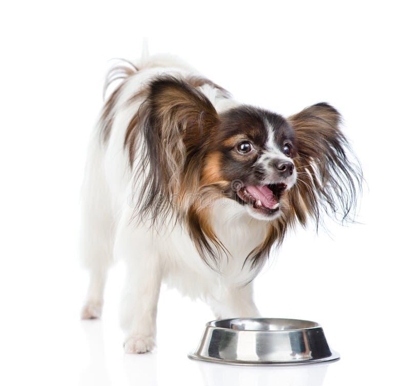 嚼在干食物的Papillon小狗 背景查出的白色 免版税库存图片