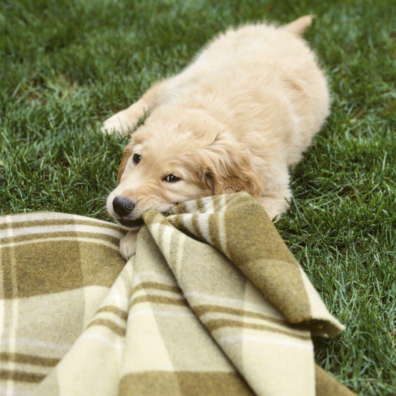 嚼在毯子的小狗 逗人喜爱,滑稽的宠物行为 动物守纪训练 免版税库存照片