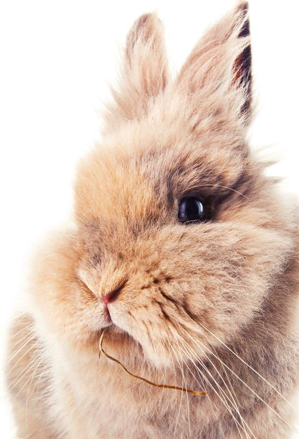 嚼在秸杆的逗人喜爱的兔宝宝 库存图片