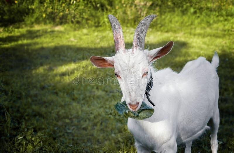 嚼在美好的被弄脏的绿色背景的美丽的幼小白色有角的山羊一片圆白菜叶子 库存图片