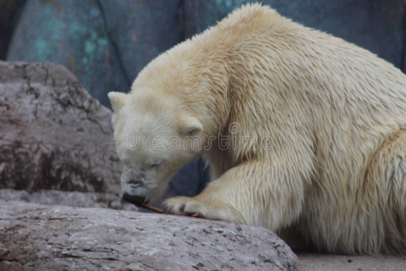 嚼在骨头的北极熊 库存照片