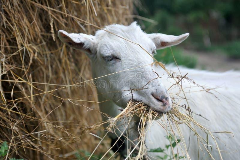 嚼山羊干草白色 库存照片