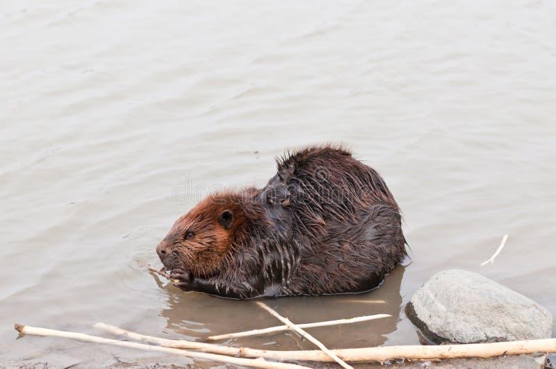 嚼棍子的海狸 图库摄影