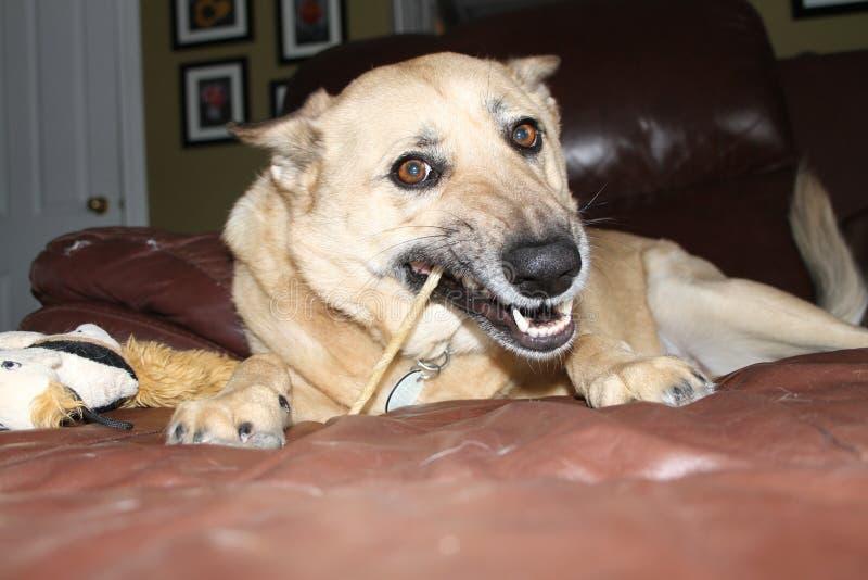 嚼狗的骨头 库存图片