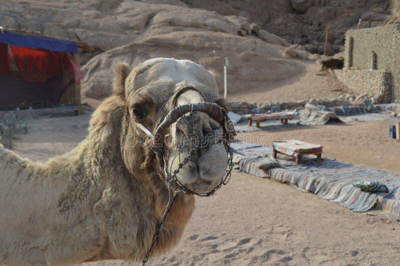 嚼的骆驼的坚硬枪口对Inhibits咬住和 库存图片