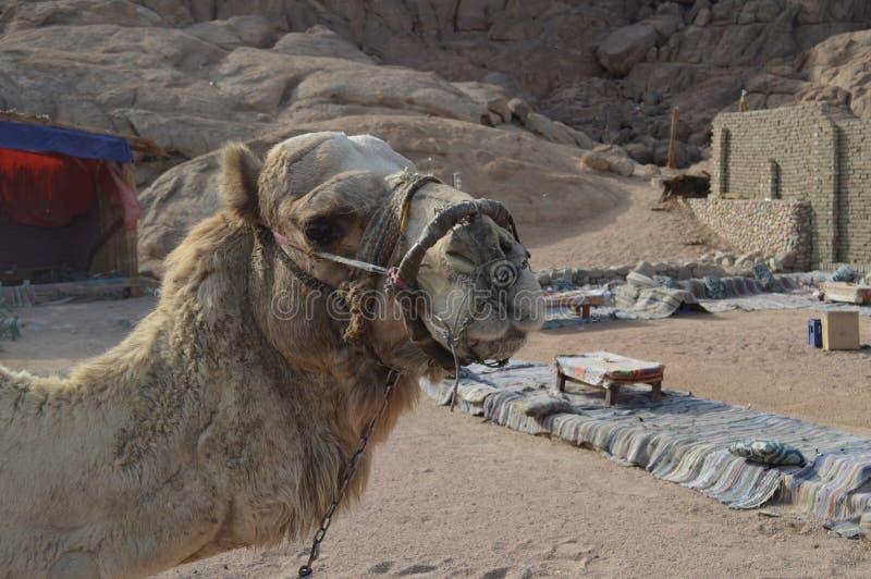 嚼的骆驼的坚硬篮子枪口对Inhibits咬住和 库存照片