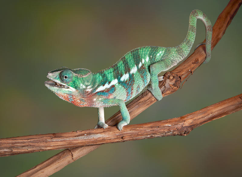 嚼蟋蟀的变色蜥蜴 库存图片