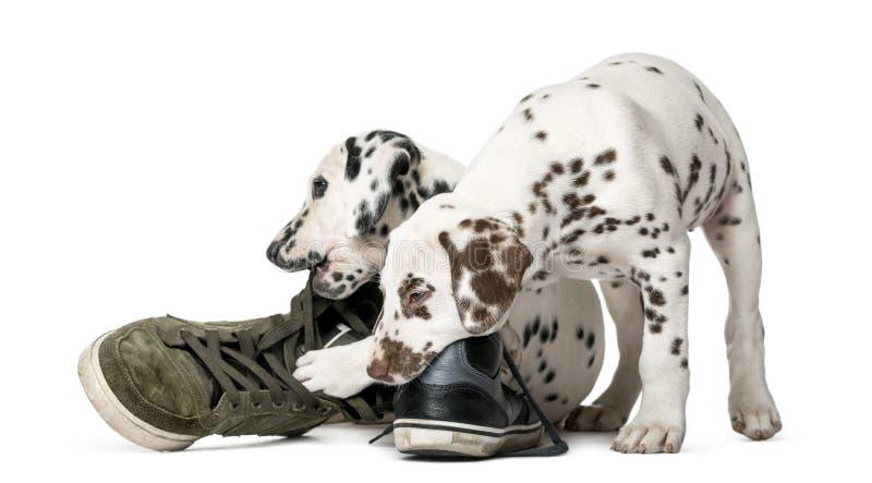 嚼鞋子的两只达尔马希亚小狗 库存图片