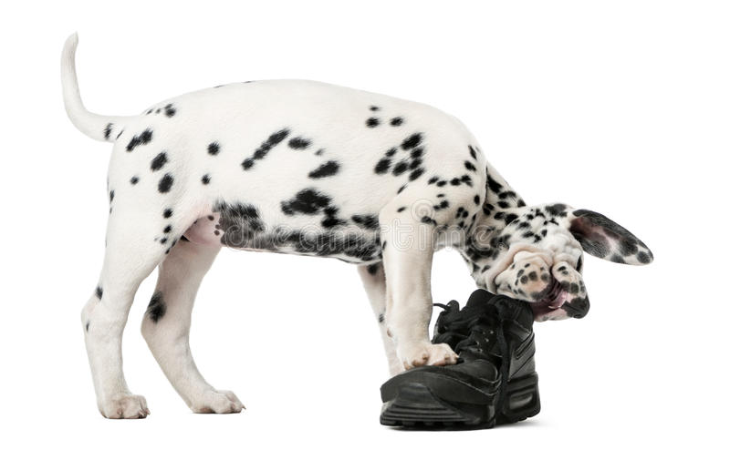 嚼鞋子的达尔马希亚小狗 免版税图库摄影