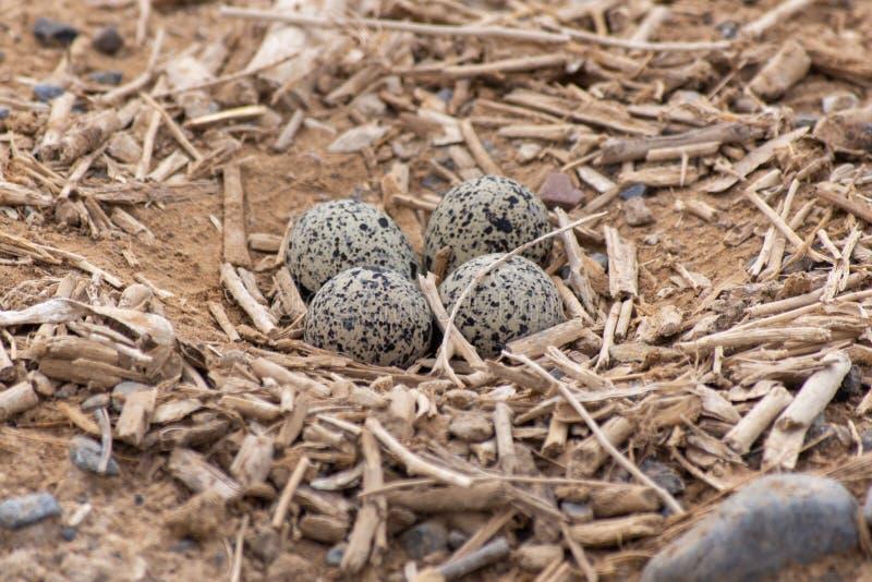 四个鸡蛋红色Wattled田凫欧亚田凫类indicus巢在阿拉伯联合酋长国 库存照片