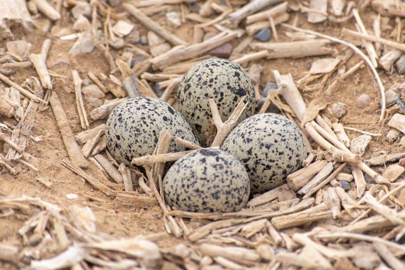 四个鸡蛋红色Wattled田凫欧亚田凫类indicus巢在阿拉伯联合酋长国 免版税库存照片