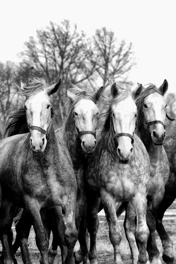 四匹马在行动 图库摄影