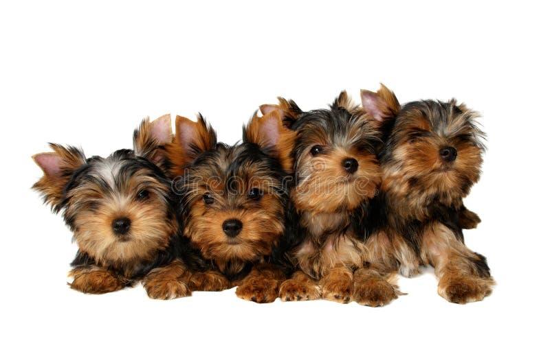 四只小狗约克夏 库存图片