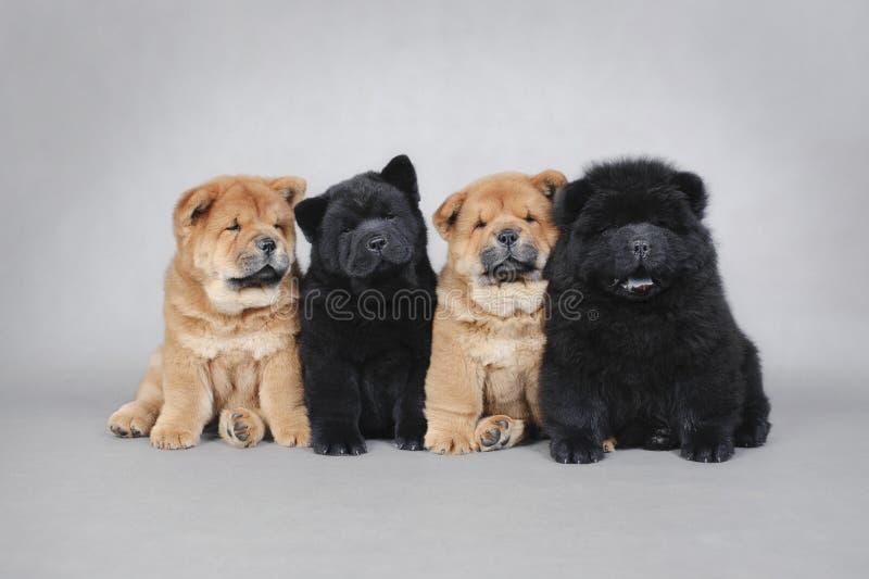 四只小的中国咸菜小狗纵向 图库摄影