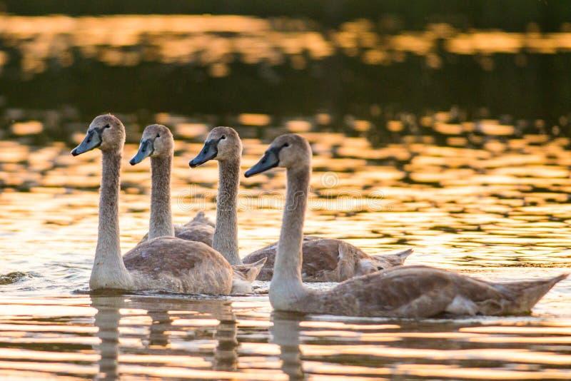 四只幼小疣鼻天鹅在湖 免版税库存图片