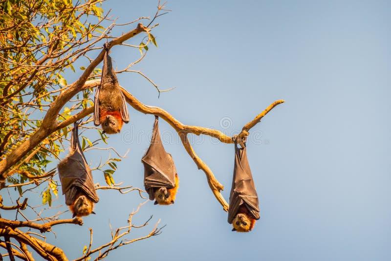 四只果实蝙蝠在悉尼,澳大利亚也叫垂悬颠倒从一棵树的分支的果蝠 免版税库存照片