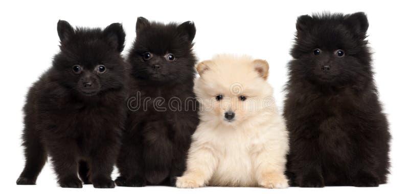 四只波美丝毛狗小狗,2个月,在白色背景前面 图库摄影