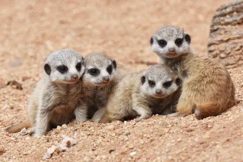 四只逗人喜爱的Meerkat小狗看 免版税库存照片