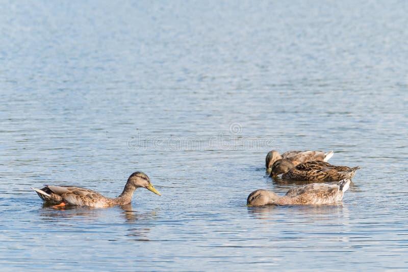 四只野鸭游泳和寻找食物 库存图片