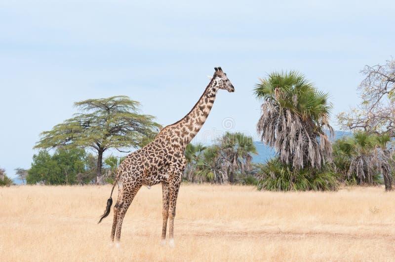 四处觅食在大草原-国家公园selous比赛储备的长颈鹿在坦桑尼亚 免版税库存图片