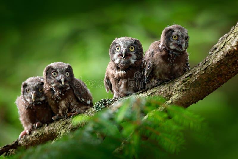 四头幼小猫头鹰 小鸟北方猫头鹰, Aegolius funereus,坐树枝在绿色森林背景中,年轻人,婴孩,崽 免版税库存照片