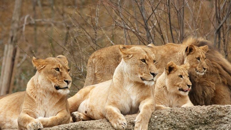 四头狮子 库存照片