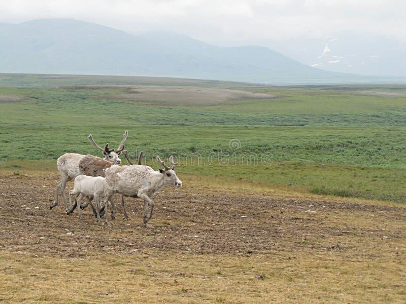 四头鹿照片在寒带草原 图库摄影