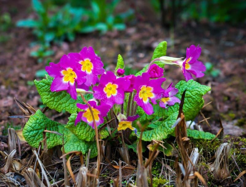 四季不断的桃红色报春花或樱草属在春天庭院 免版税库存图片